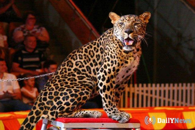 Работник Омского цирка попал в больницу после контакта с животным