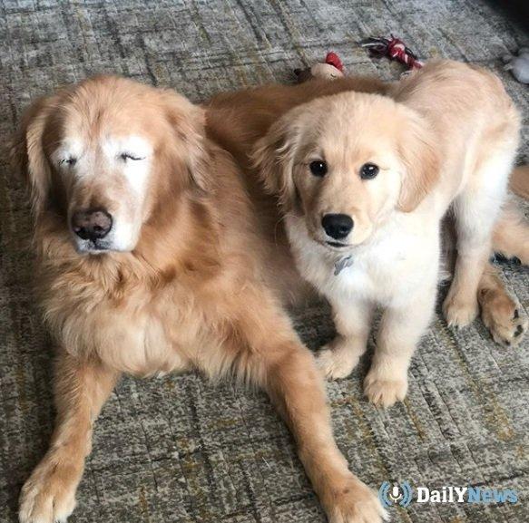 У слепого пса из США появился пес-поводырь