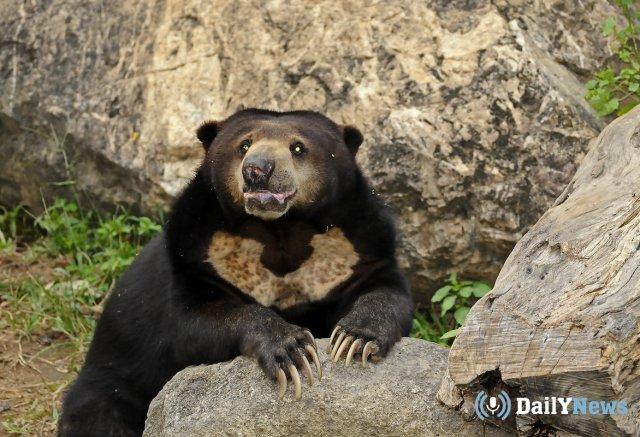 Под Хабаровском с помощью сладких лакомств поймали медведя-вора