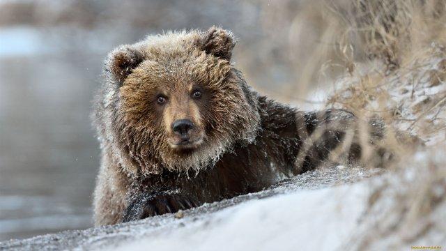 Жители стали жаловаться на медведей в лесах Северного Урала
