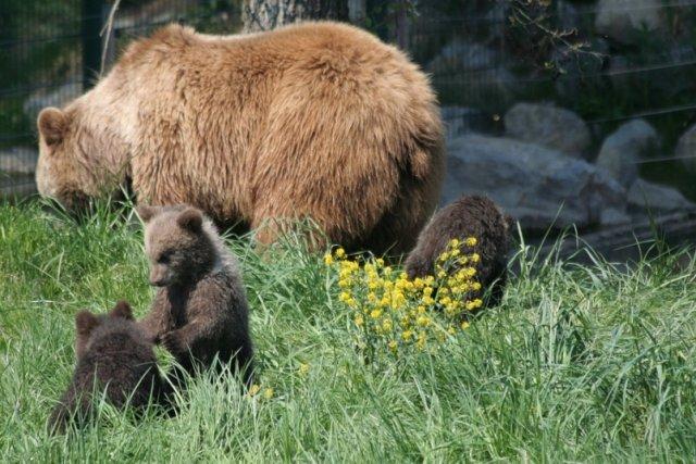 Медведица с медвежатами погибли, попав под поезда в Хабаровском крае