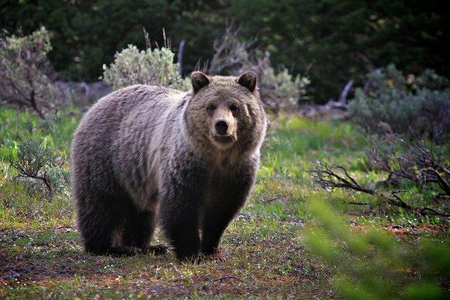 Жители ХМАО напуганы медведем, который блуждает по улицам населённого пункта