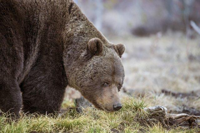 На Алтае пойман и убит медведь, который был опасен для людей
