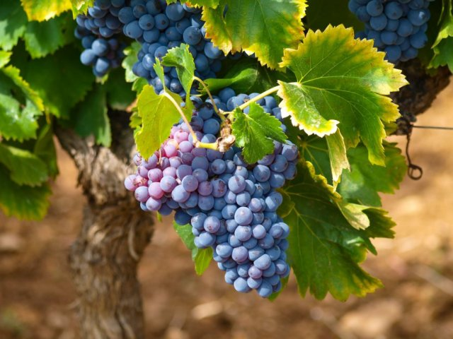 Агроном рассказал, как распознать виноград со следами химикатов
