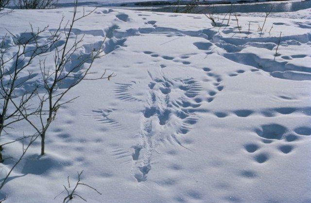 В Тверской области стартовало проведение регулярного зимнего маршрутного учета